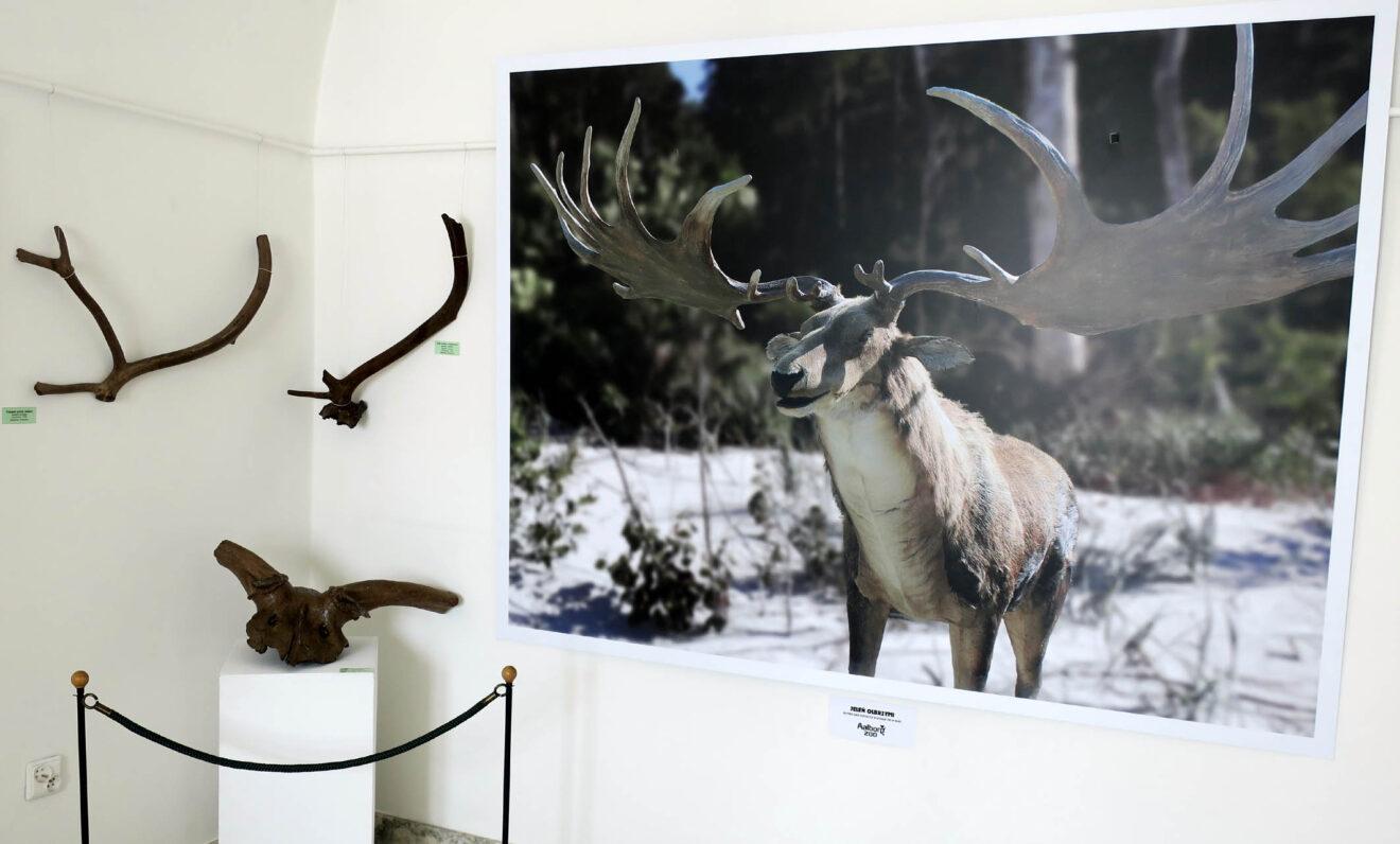 Fragment wystawy z porożami reniferów oraz jelenia olbrzymieniego.