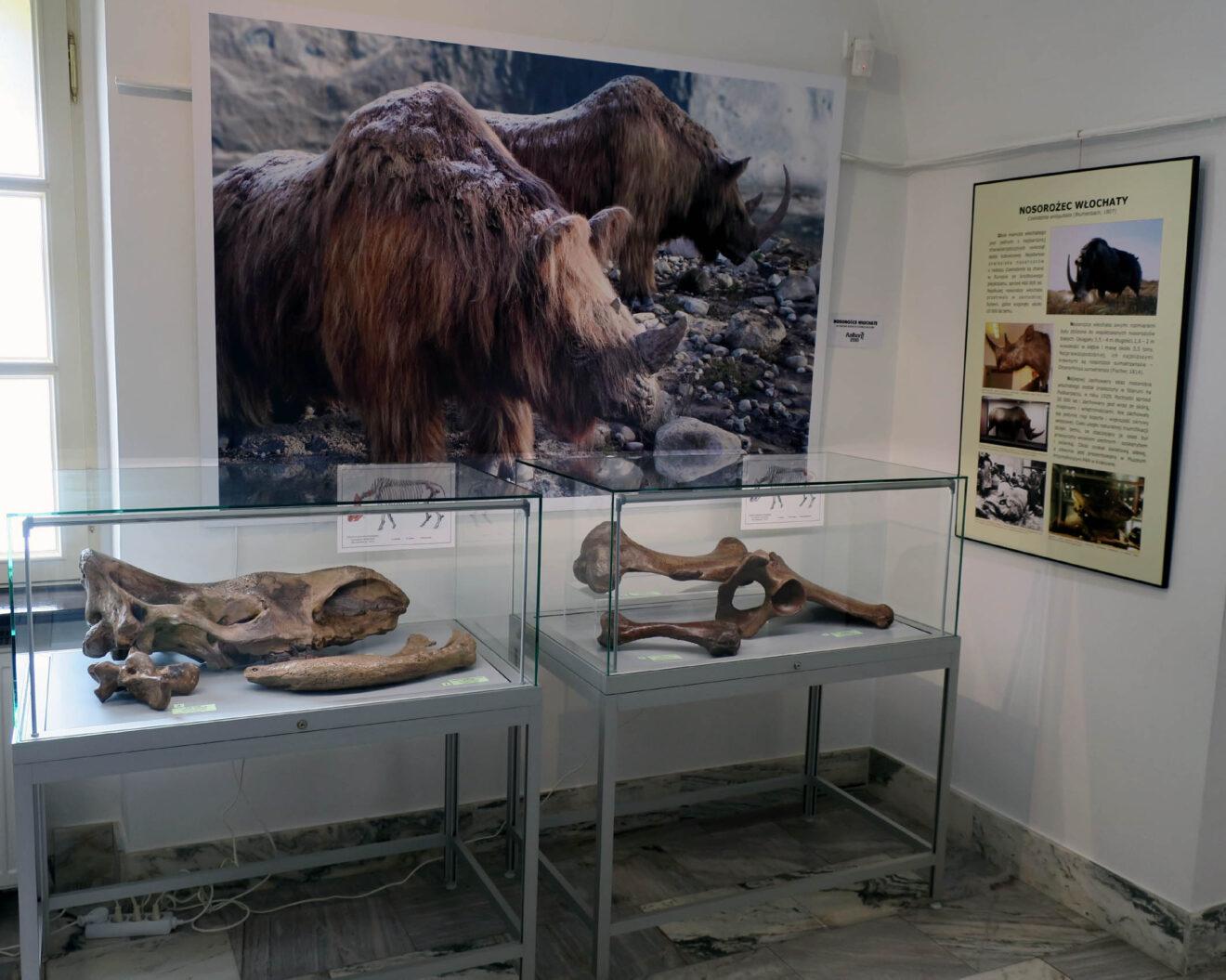 Fragment wystawy z fotografiami nosorożca i gablotami jego szczątków.
