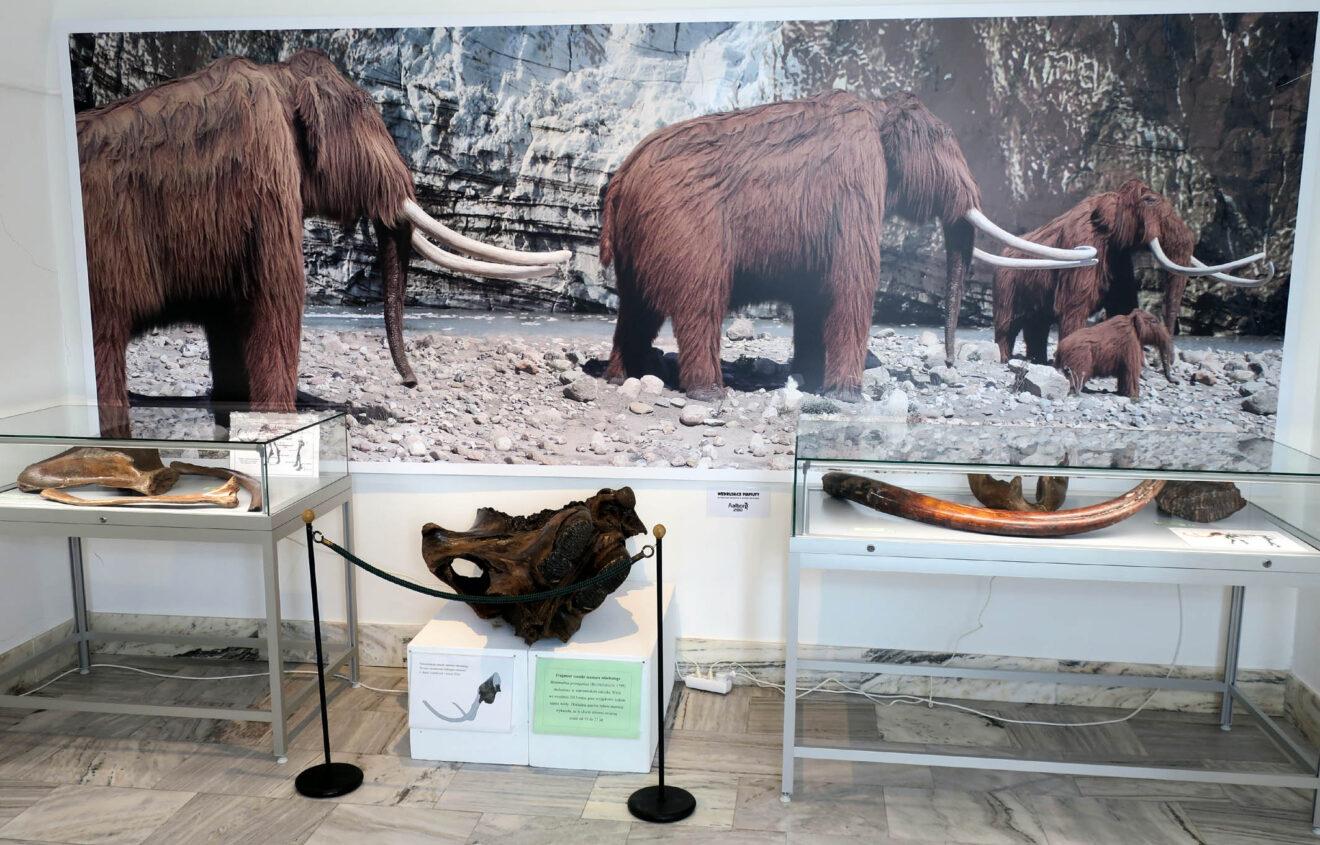 Fragment wystawy z gablotami kości mamutów. Na ścianie tło z mamutami i krajobrazem lodowcowym.