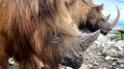 Dwa nosorożce włochate